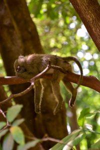 primate sleeps in tree